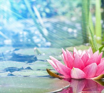 pink flower floating on pond